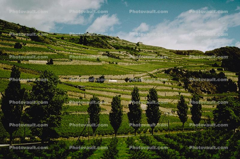 Vineyards on a mountain, trees, Sion, Switzerland, Rhone River Valley