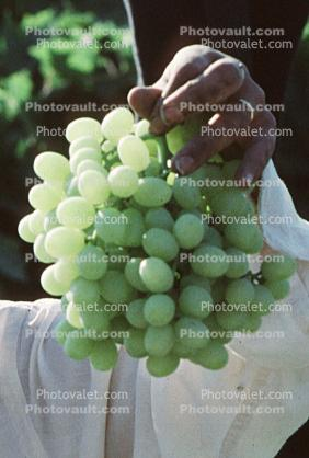white grape, Grape Cluster