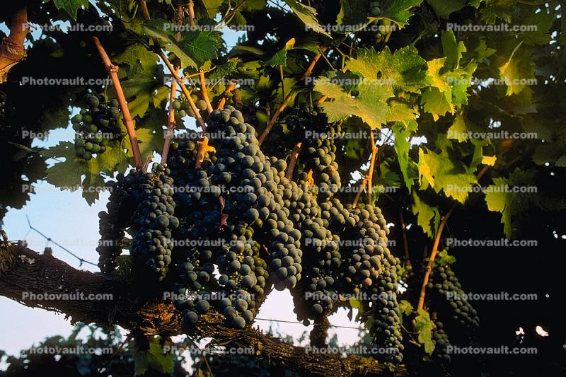Red Grapes, Grape Cluster