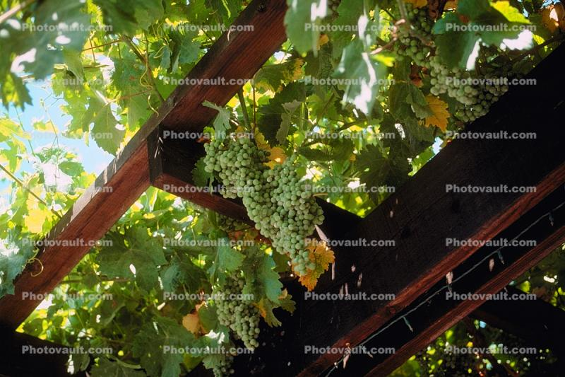 Grape Clusters, bunch