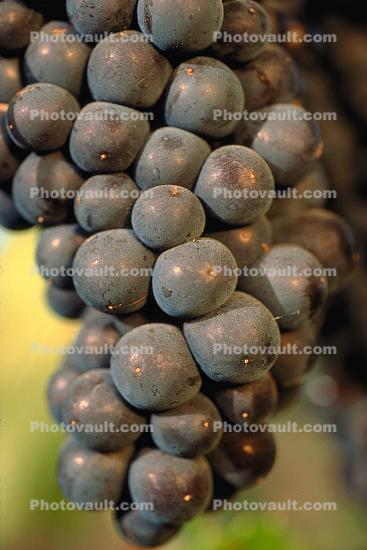 Red Grapes, Grape Cluster, close-up