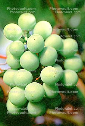 White Grapes, Grape Cluster, close-up