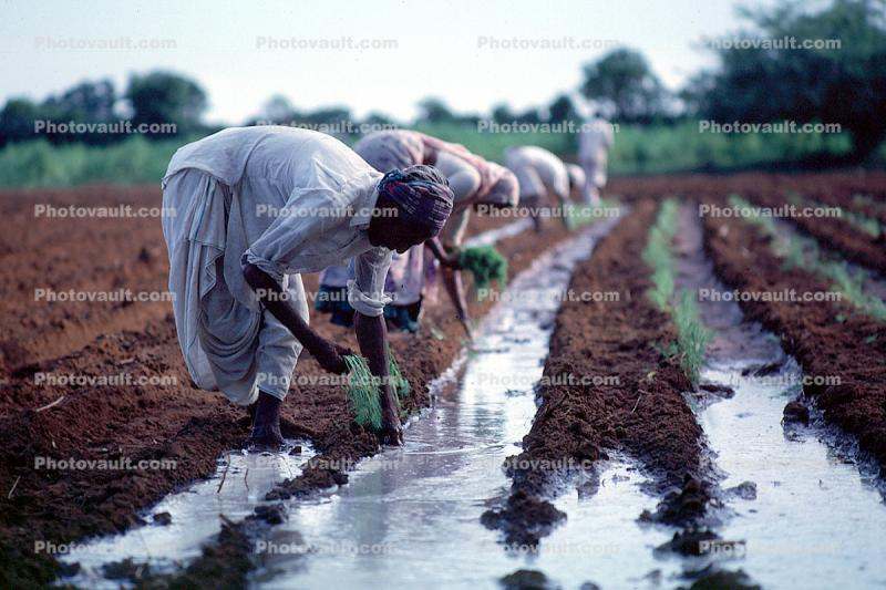 Planting, sowing, irrigation, Women, Woman, Water