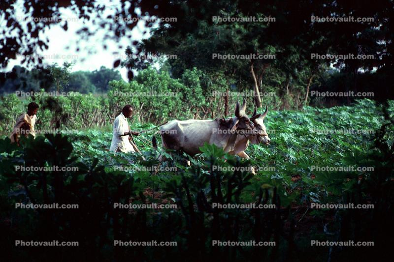 Plowing, Farmer, Oxen, Cows, Brahma, Bull, plants