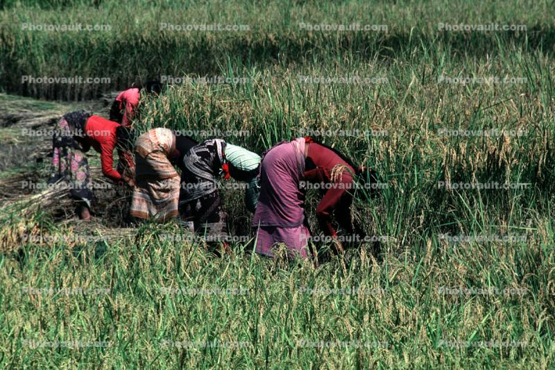 Woman, Women, Labor, Laborers, Harvesting, Kathmandu Valley