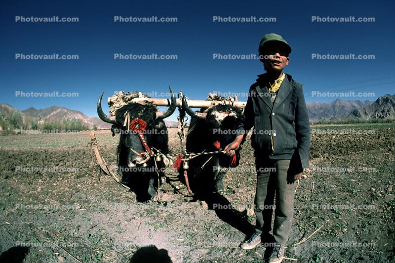 Yak, Oxen, Cows, Plowing, Tilling, Tibet, Man, Male, Labor, Laborer, dirt, soil