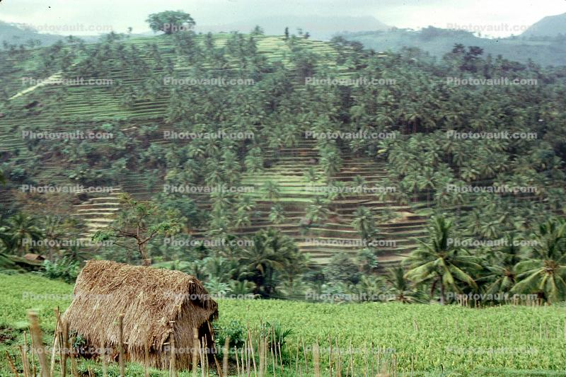 Terraced Rice Fields, Island of Bali, Sod