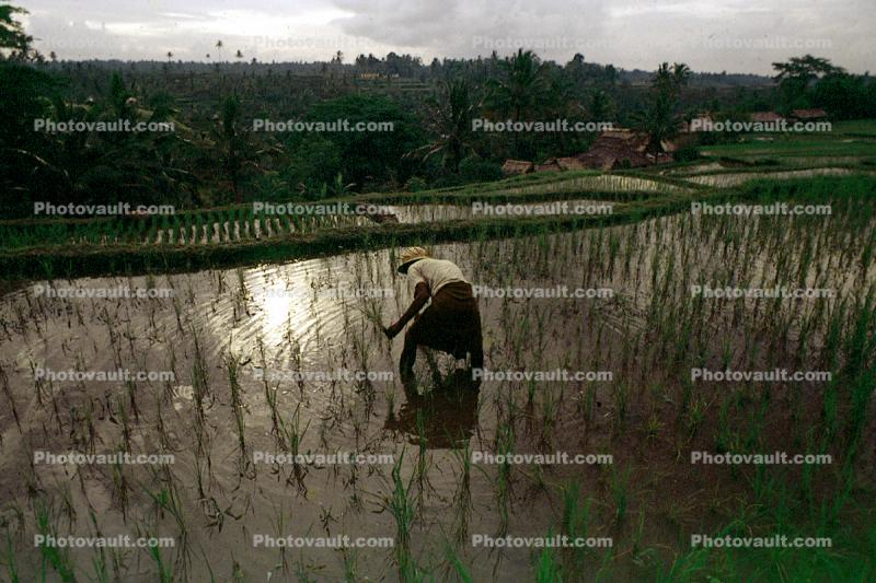 Man, Male, Worker, manual labor, hat, people, person, Rice Terraces, Terraced Rice Patties