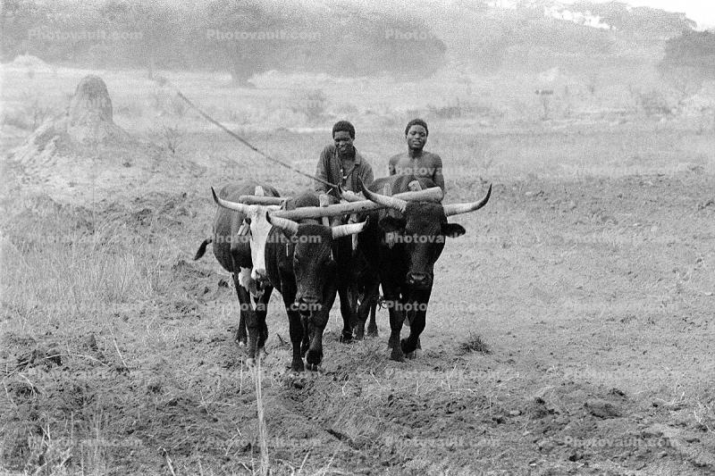Man and Oxen tilling the soil, Plow, Plowing, Chibi, Zimbabwe