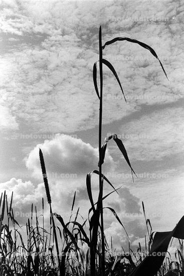 Corn Stalks, Field, Cornfield, Corn