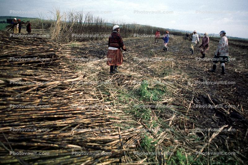 Sugar Cane Cutting, man, male, farmer