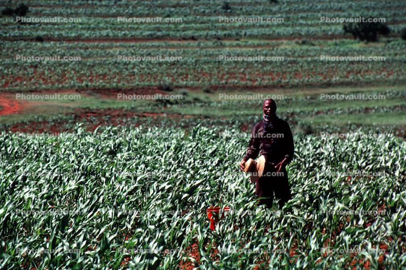 Corn, Cornfield, man, male, farmer