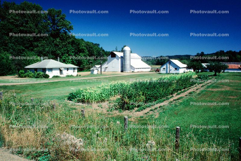 Barn and Silo, Corn Patch, Corn, Cornfield