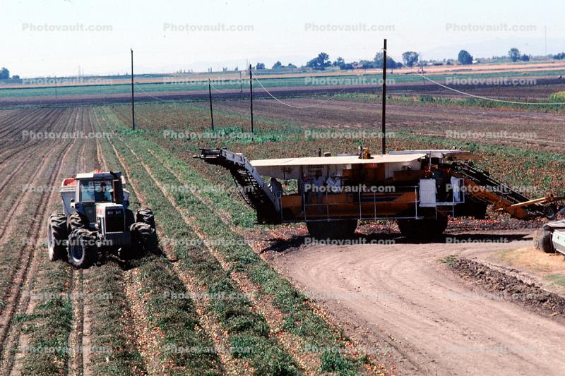 Tractor and Trailer harvesting Tomatoes, Sacramento River Delta, Central Valley, Dirt, soil