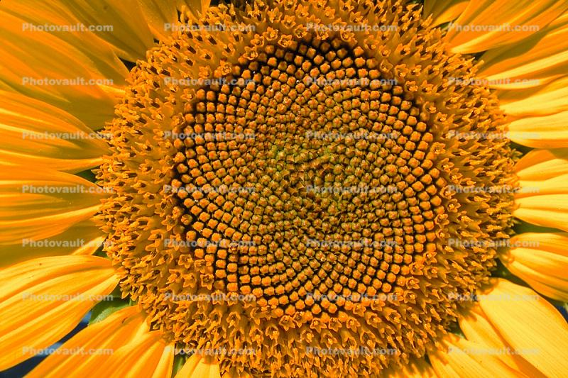 Sunflower Field, Dixon California, Round, Circular, Circle, Symmetry, Geometric, Center