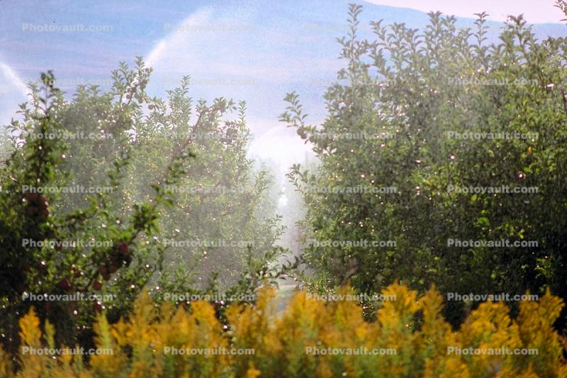 Apple Orchard, Water Sprinklers, Irrigation, Columbia River Basin, Washington State