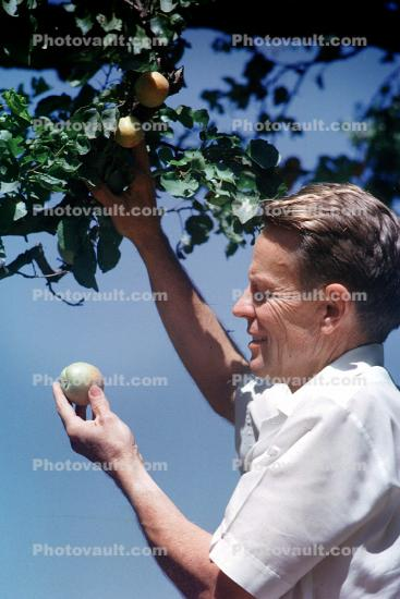 Man Picking Apples, retro, 1950's