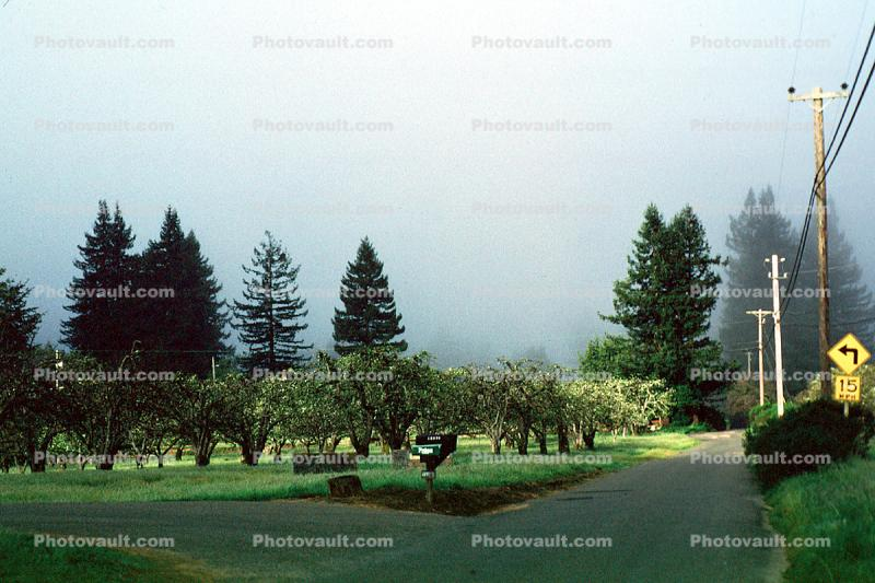 Gravenstein Apples, Occidental, California