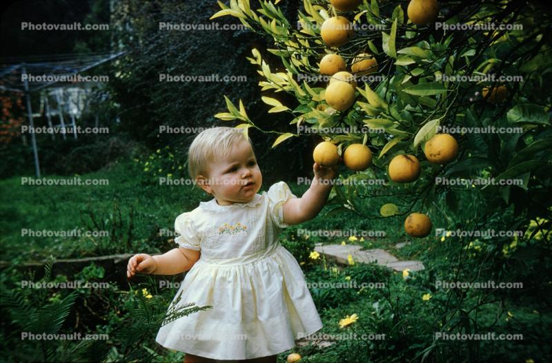 Child picking oranges from an orange tree, orchard, 1950s