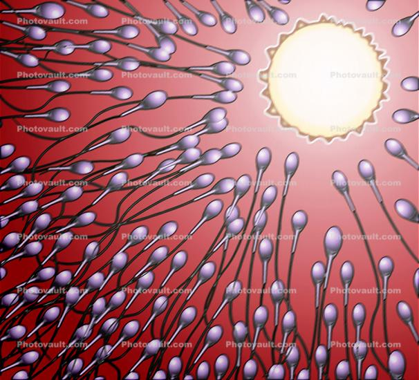 Sperm and Egg, Fertilization, cell, conception