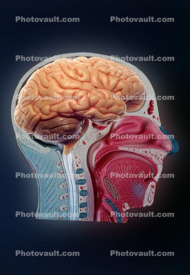 Face, Brain, Mouth, Nose, Eyes, Muscles, Throat, Brain Stem