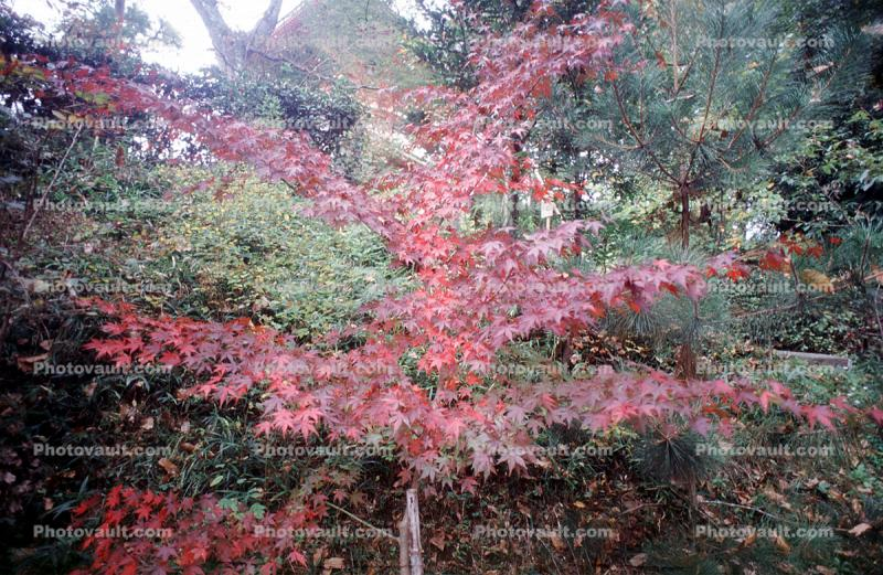 Japanese Maple tree, Trees, Forest, Woodlands, Autumn, Fall Colors
