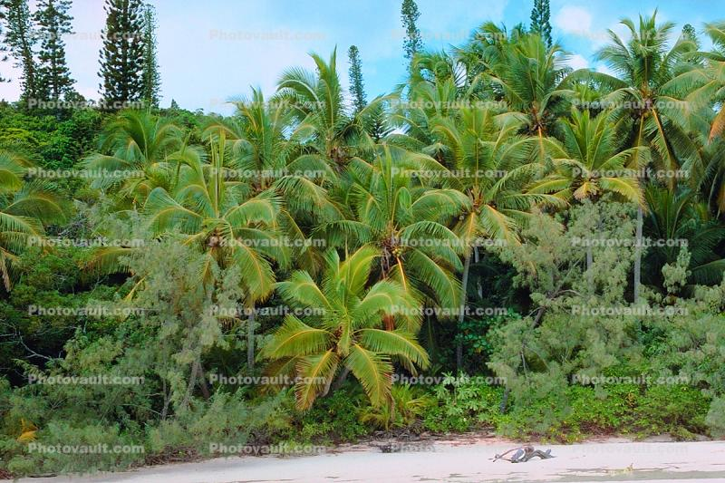 Rain Forest, Tropical Pine Trees, Island, Coral Reef