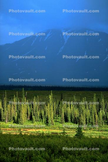 Woodlands, Pine Trees, Forest, Mountains