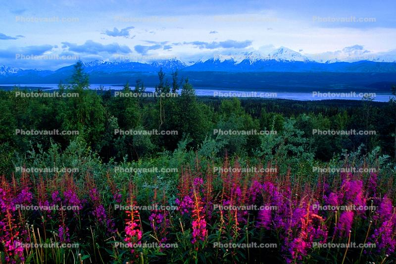 Fireweed, (Epilobium augustifolium), a.k.a. willow herb, River