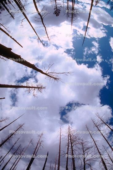 looking-up, bare trees, After the Fire, Burned trees