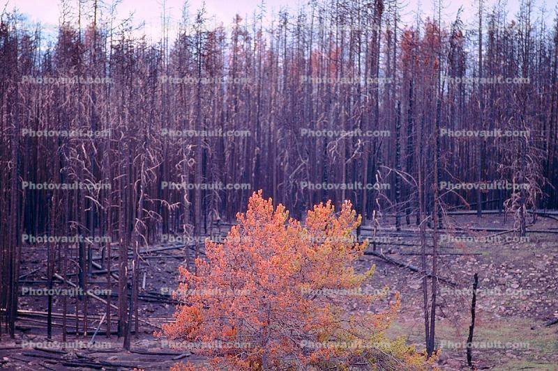 Burned trees, After the Fire