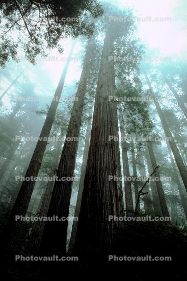 looking up in a redwood forest, fog, foggy