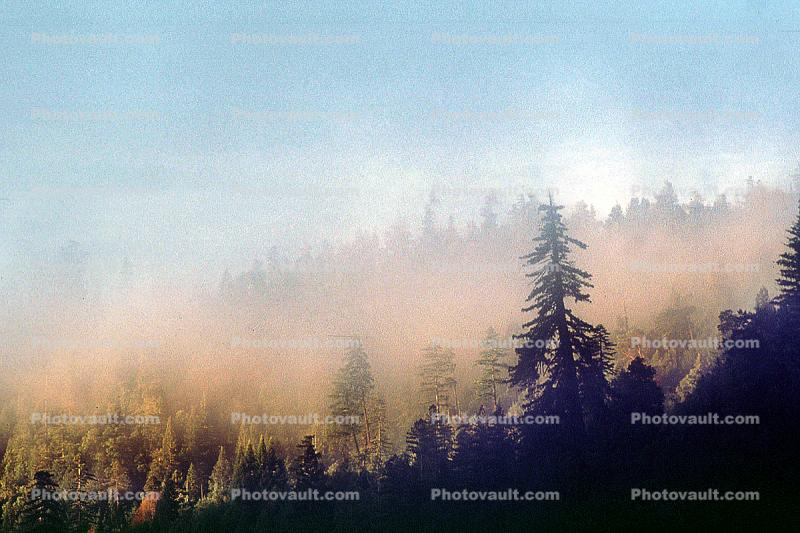 Foggy Morning over the Redwood Trees
