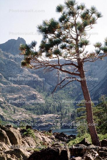Sierra Buttes, Tree, east of Downieville