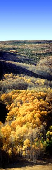Aspen Trees, a few kilometers north of Mono Lake, Panorama, autumn, hills, Equanimity