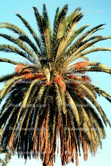 Palm Tree, Palm Dates