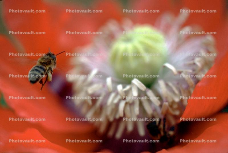 Honey Bee, Poppy Flower, the garden at Esalen Institute, Big Sur, California