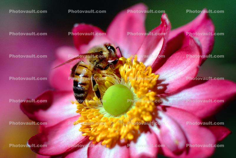 Honey Bee, Pink Anemone Flower