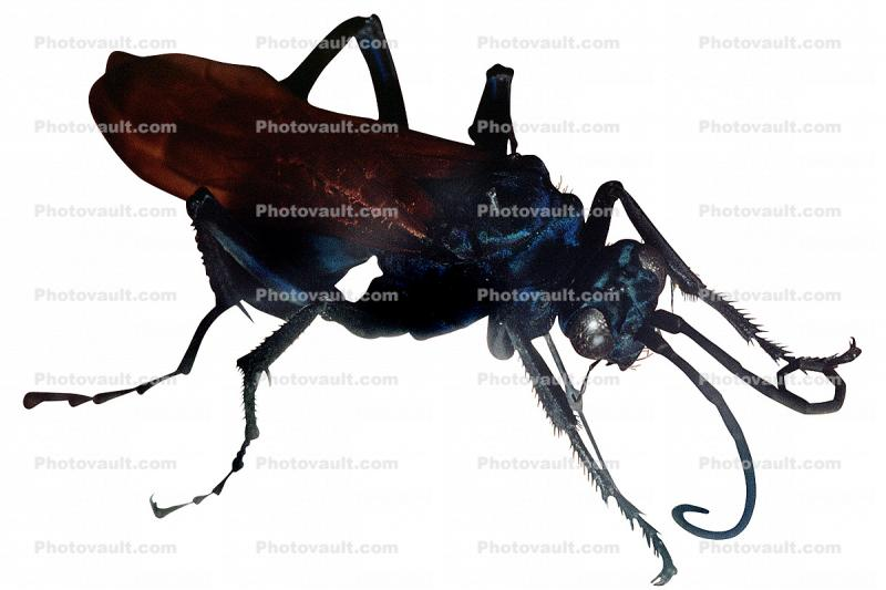 Spider Wasp (Pepsis cerberus), photo-object, object, cut-out, cutout