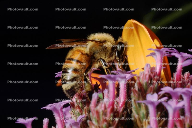Honey Bee Seeking Nectar, and finding it