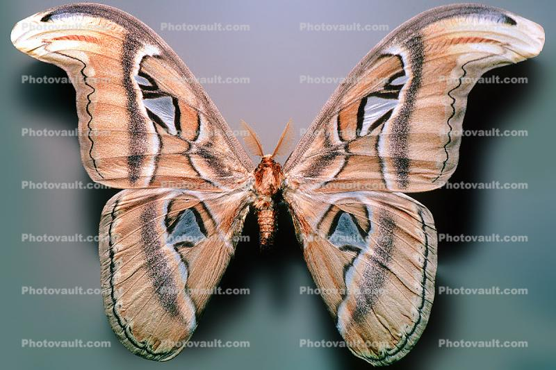 Atlas Moth, (Attacus atlas), Saturniidae