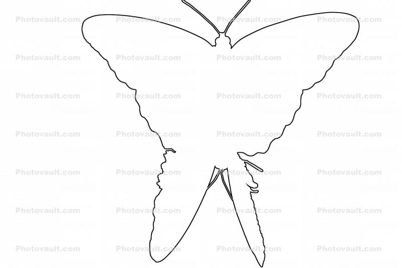 Butterfly outline, line drawing, shape