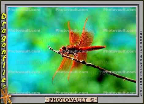 dragonfly resting on a twig, Dragonfly, Anisoptera