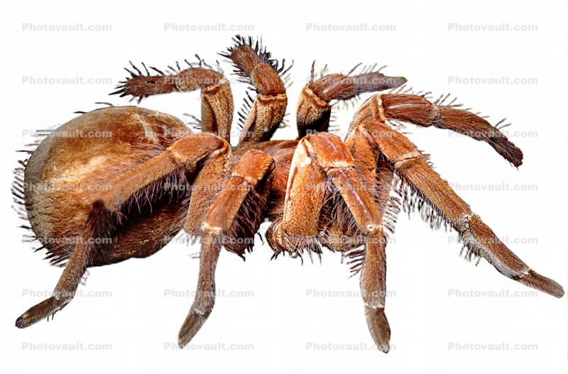 Goliath bird-eating spider (Theraphosa blondi), Araneae, Mygalomorphae, Theraphosidae, photo-object, object, cut-out, cutout