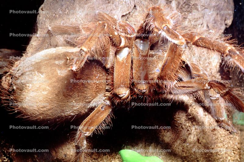 Goliath bird-eating spider (Theraphosa blondi), Araneae, Mygalomorphae, Theraphosidae