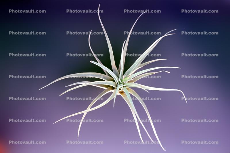 Air Plant, Airplant, Airplants, Epiphyte, Tillandsia