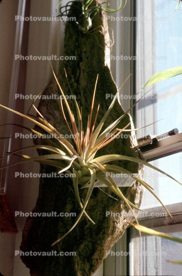 Air Plant, Airplant, Epiphyte, Tillandsia