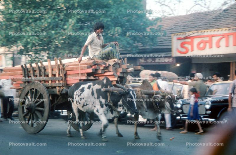 Man on a cart, ox, oxen, on the Streets of Mumbai