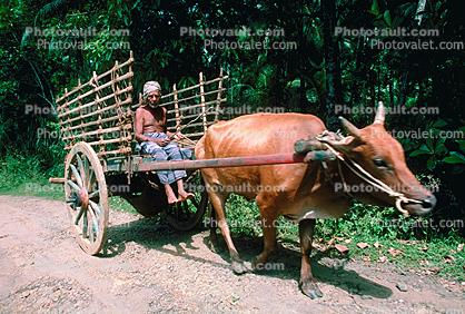 Oxen and Cart, Man, Mumbai, Bombay