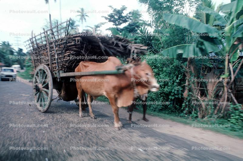 Brahma Bull, Road, Roadway, Street, Trees